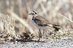 Killdeer by weeds. Royalty Free Stock Photography