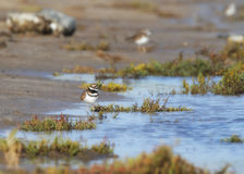 Killdeer at Wetlands Royalty Free Stock Photos