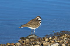 Killdeer wodą Obrazy Stock