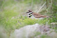 Killdeerstrandloper in Vogelreservaat Royalty-vrije Stock Afbeeldingen