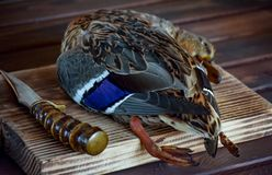 Killed duck before cooking. Killed duck lies on a wooden background. Hunting season. Top view. Cooking time royalty free stock image
