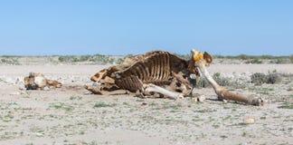 Killed giraffe Royalty Free Stock Images