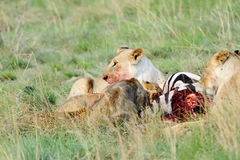 A killed Zebra and lioness Royalty Free Stock Photos