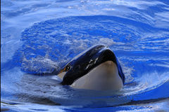 Killer. Whale in te water on a blue background Royalty Free Stock Images