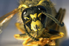 Killer bee. Extreme macro, blur background Royalty Free Stock Photography
