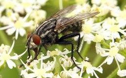 Killer bee Royalty Free Stock Photo