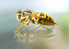 Killer bee Stock Images