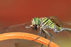 Killer Dragonfly Royalty Free Stock Photo