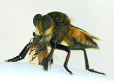 The Killer Fly. This is a fly with a small insect in it's mouth Royalty Free Stock Photo