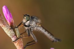 Killer Fly (Lapria flava) Stock Photo