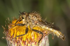 Killer Fly (Lapria flava) Stock Photography