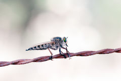 Killer fly (robber fly) Stock Photography