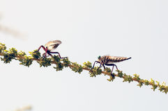 Killer fly (robber fly) Stock Images
