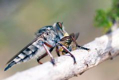 Killer fly (robber fly) Royalty Free Stock Photos