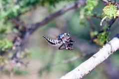 Killer fly (robber fly) Stock Photo