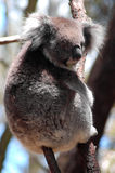 Killer Koala. An Australian icon - the koala stock photo