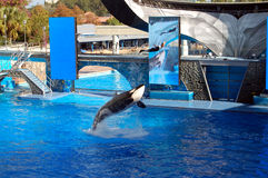 Killer orca whale jumping with trainer Stock Image