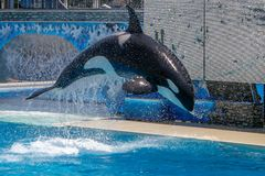 Killer Wale show at Sea World stock images