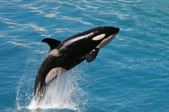 Killer whale #1. Killer whale jumping out of water Royalty Free Stock Image