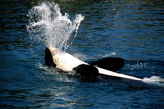 Killer whale. Jumping out from water Stock Photo