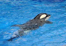 Killer whale Stock Image