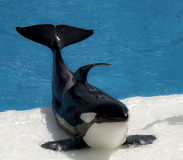 Killer Whale. One killer whale at a killer whale show stock photo