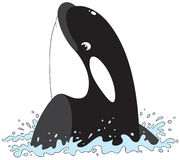 Killer whale. The  clip-art of the swimming killer whale Royalty Free Stock Images