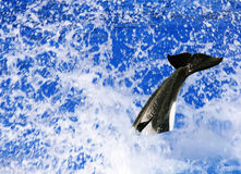 The Killer Whale. Orcinus Orca royalty free stock photography