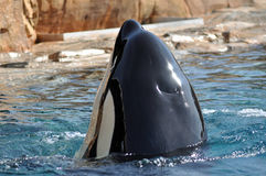 Killer whale royalty free stock image