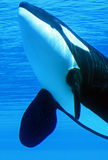 Killer Whale. A killer whale swimming in an underground viewing tank stock photo