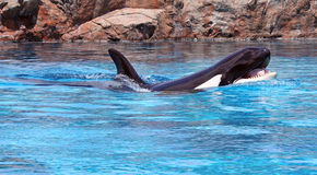 Killer Whale. A killer whale swimming in a large display tank for a show Royalty Free Stock Photos