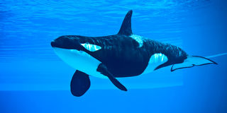 Killer Whale. Friendly killer whale in an underwater viewing tank Stock Photo