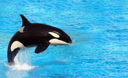 Killer Whale. Big killer whale jumping on water Stock Images