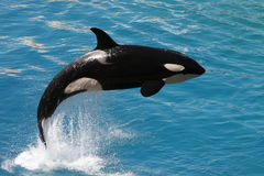 Killer whale #2 stock photography