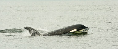Killer Whale. Panoramic Composition of Single Killer Whale Swimming in Calm Water Stock Photos