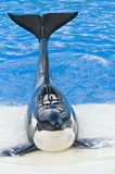 Killer whale royalty free stock photo