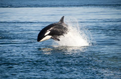 Killer whale. Jumping in the wild Royalty Free Stock Image