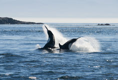 Killer whale Royalty Free Stock Photos