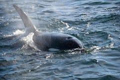 Killer whale stock photo