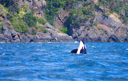 Killer Whale. Surfacing on a whale watching trip stock photos