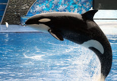 Killer Whale. A killer whale jumping out of the water Royalty Free Stock Photos
