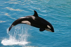 Killer whale #4. Killer whale jumping out of water stock photography