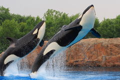 Killer whale. Jumping out of a pool stock photography