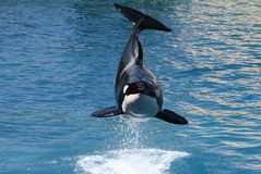 Killer whale #6. Killer whale jumping out of water Royalty Free Stock Image