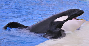 Free Killer Whale Stock Photography - 8296852