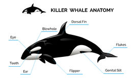 Killer Whale Anatomy Royalty Free Stock Image