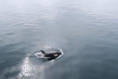 This a Killer Whale in Antarctic ocean in Antarctica