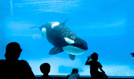 Killer whale aquarium Royalty Free Stock Photography