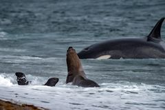 Orca killer whale attack a seal on the beach. Killer whale while attacking a newborn sea lion on patagonia beach stock image