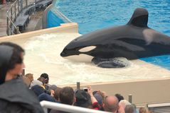 Killer Whale beaches for crowd at Seaworld Royalty Free Stock Photos